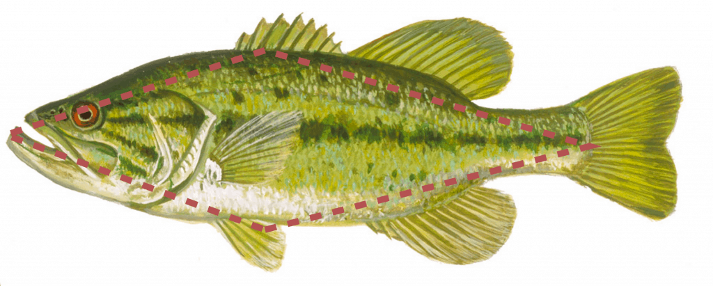 Bass Fish With Model Outline Overlay