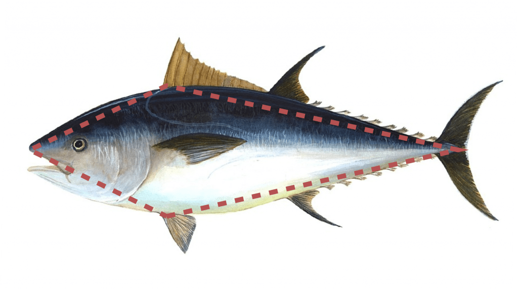 Tuna Fish With Model Outline Overlay