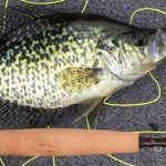 Crappie beside brown fishing rod