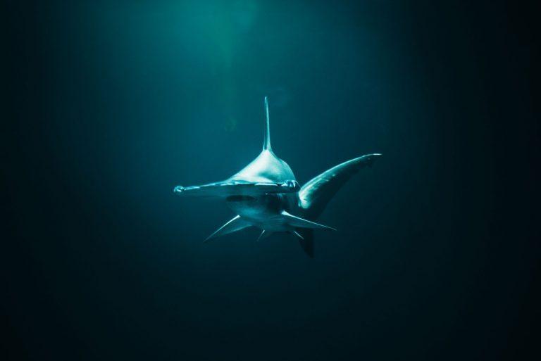 Hammerhead Shark swimming in dark water