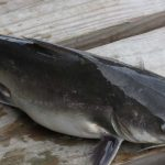Catfish on a Wooden Surface