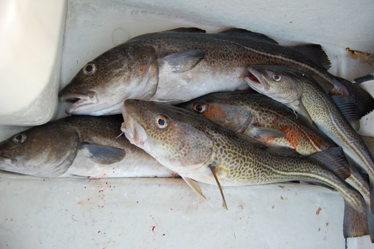 Caught Atlantic Cod Piled on Boat Floor