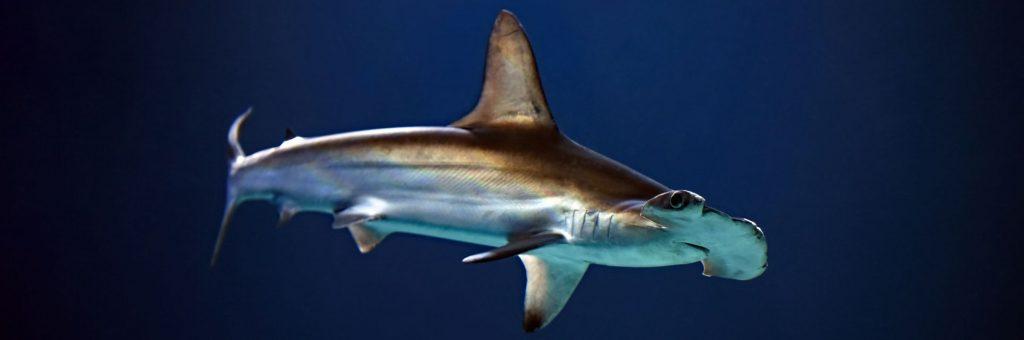 Hammerhead Shark Swimming in Deep Water