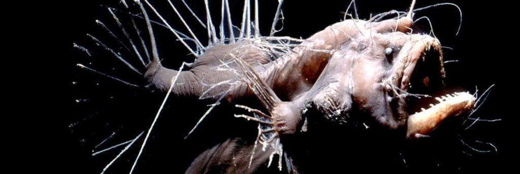 https://commons.wikimedia.org/wiki/Category:Melanocetus_johnsonii#/media/File:Criaturas_del_Abismo.jpg
