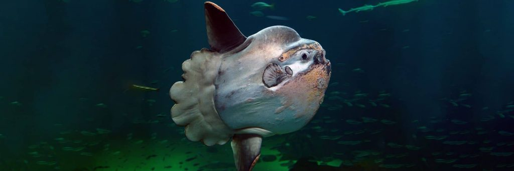 Mola Mola Swimming Under The Sea
