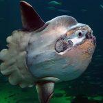 Mola Mola Swimming Under The Sea