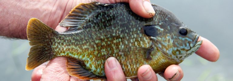 Bluegill Held in Hand