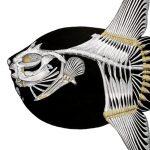Mola Mola Bone Structure