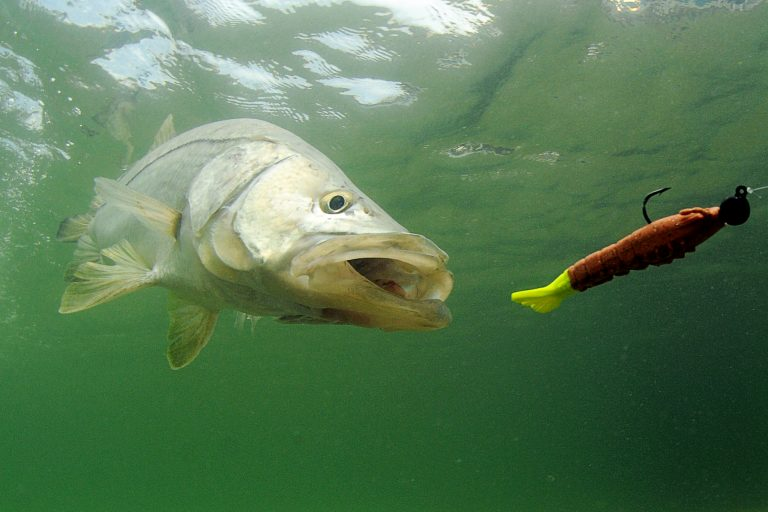 Underwater View of Fish Chasing Lure